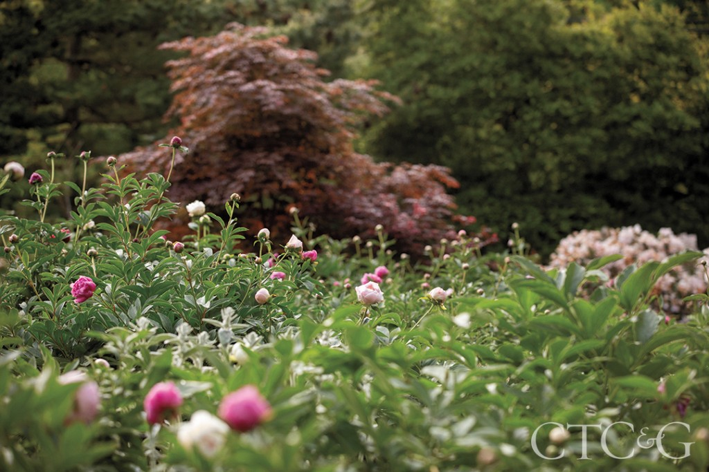 Brad French's Variety Of Pink Peonies At His Weston Home