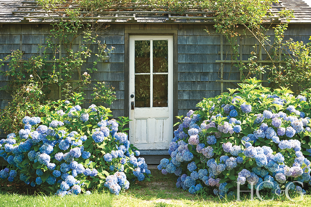 Hamptons Hydrangeas
