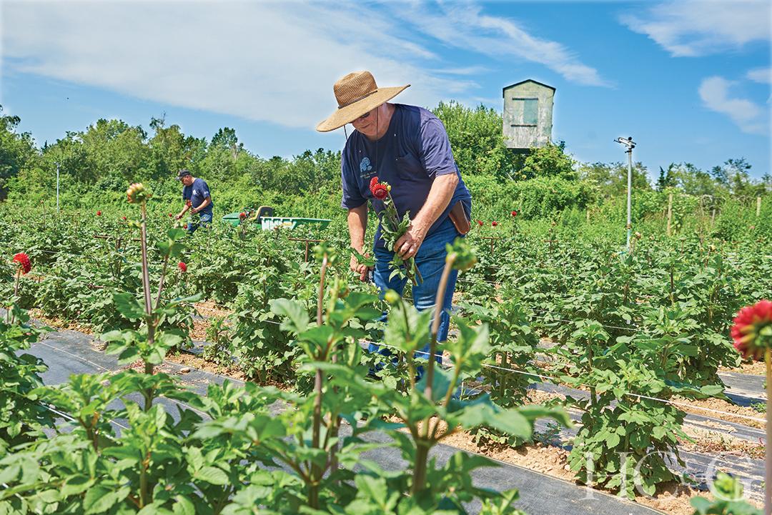 Man Planting Dahlias On A Farm