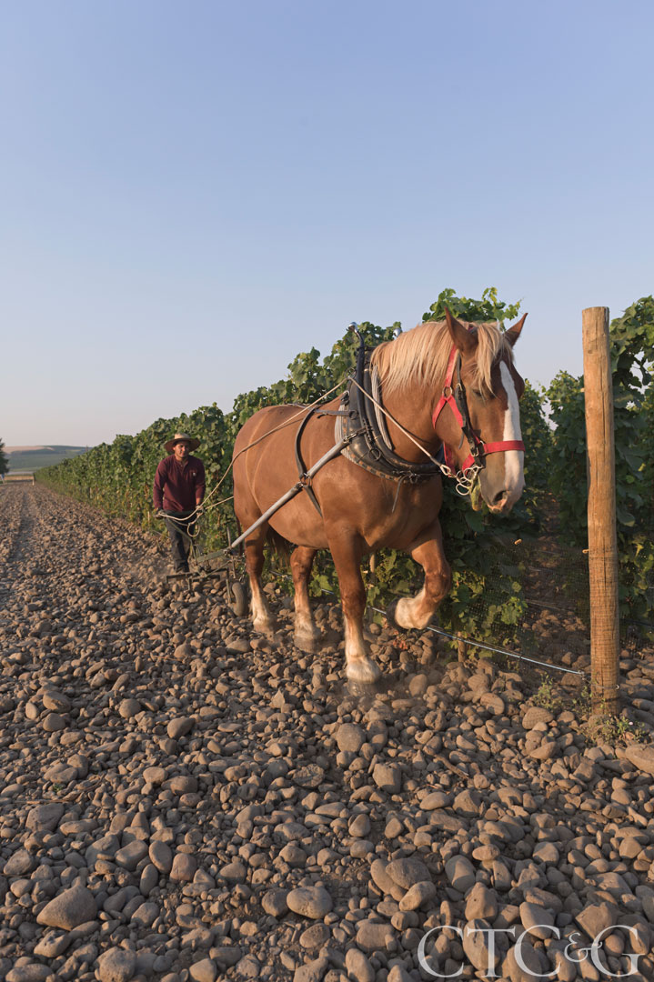 Zeppo, a Belgian draft horse, plows between the vines at Cayuse winery.